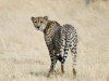 cheetah-001