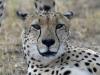 cheetah-002