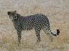 cheetah-006