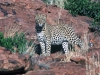 leopard-003