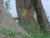 leopard-004