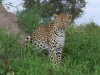 leopard-005