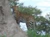 leopard-006