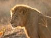 lion-002