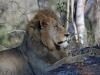 lion-003