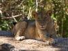 lion-005