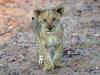 lion-008
