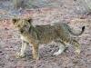 lion-009