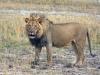lion-019
