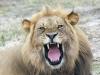 lion-023