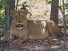 lion-024