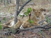lion-027