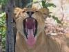 lion-028