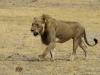 lion-032