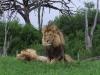 lion-033