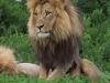 lion-034