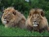 lion-035