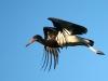abdims-stork-004