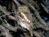 african-barred-owl-002