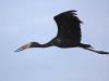african-openbilled-stork-002