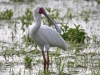 african-spoonbill-003