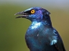 cape-glossy-starling-004