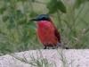 carmine-bee-eater-005