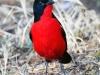 crimson-breasted-shrike-002
