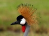 crowned-crane-005