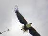 fish-eagle-001