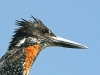 giant-kingfisher-003