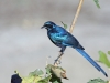 longtailed-starling-005