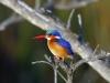 malachite-kingfisher-001