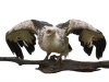 palmnut-vulture-002