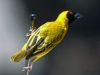 spotted-backed-weaver-001