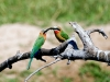 white-fronted-bee-eater-001