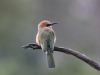white-fronted-bee-eater-006