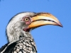 yellow-billed-hornbill-001