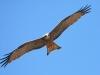 yellow-billed-kite-005