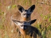 bat-eared-fox-001