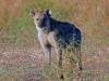 hyena-001