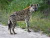 hyena-003