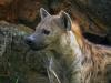 hyena-005