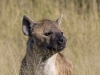 hyena-010