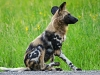 painted-hunting-dog-009
