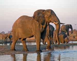 Elephant 036