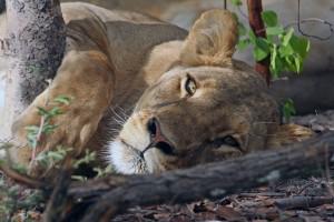Lion 026