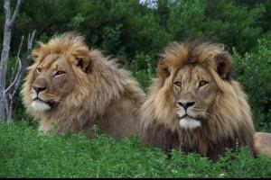 Lion 035