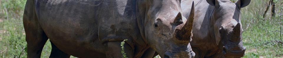 cropped-Rhinoceros-0041.jpg