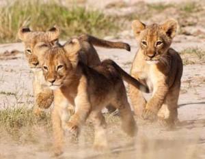 Lion-1838 copyc